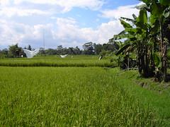 Rice paddies in Bali up at Ubud.