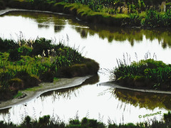 Too muddy for man (Steve Taylor (Photography)) Tags: park newzealand christchurch plants white lake reflection green water silhouette duck mud canterbury nz southisland rushes quarry bullrushes bulrushes bowwave halswell