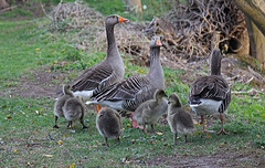 3 parents and 5 chicks! (andysimspon) Tags: geese pond babies chicks meltonpond greylaggeese canonefs55250mmlens canoneos550d asimages