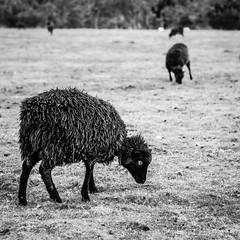 Creepy Sheep (Robert F. Stokes) Tags: autumn fall square 50mm scotland countryside blackwhite highlands nikon aberdeenshire sheep farm livestock ballater cairngorms royaldeeside 2013 d300s