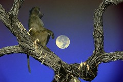 Wildlife combo (Arno Meintjes Wildlife) Tags: wallpaper art baboon combo dlife chacma chacmababoon papioursinus