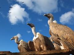 Tres (Patataasada) Tags: naturaleza nature animal ave tres vulture buitreleonado buitre buitres avecarroñera platinumheartaward a3b