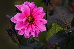 Bright pink (*Gitpix*) Tags: pink dahlia flowers autumn flower color macro fall nature leaves closeup germany deutschland leaf petals blossom bokeh sony detai