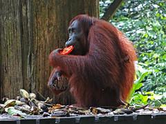Wild orangutan eating, Sepilok, Borneo (jonhuskisson) Tags: asia seasia southeastasia malaysia borneo sabah sepilok orangutan ape monkey primate wild animal sanctuary wildlifesanctuary travel backpacking culture animals nature
