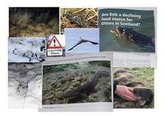 Another  slippery problem for otters Lutra lutra (BSCG (Badenoch and Strathspey Conservation Group)) Tags: lutra