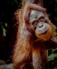 Sad (Faris shehri) Tags: orangutan انسان الغاب