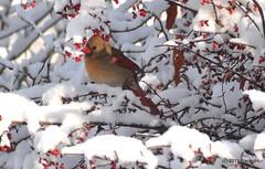 DSC_0050 (rachidH) Tags: snow nature birds cardinal nj sparta oiseaux cardinaliscardinalis redbird northerncardinal cardinalrouge rachidh