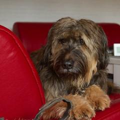 Wuschel (No_Water) Tags: hund wuschel wäller