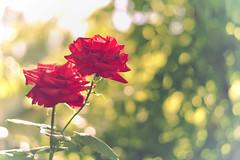 2013-06-21 18-25-40 (Sergey Ryazantsev) Tags: red summer blur colors rose blurry blossom bokeh bloom lifeform bud красный роза flowersplants sunconure лето цвета бутон цветение смазано почки растенияицветы цветное размазня нерезко нерезкий живыеформы
