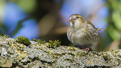 Siskin 16-9 (Andrew Haynes Wildlife Images) Tags: