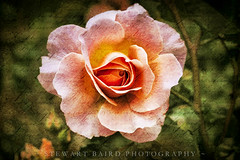 Just Who You Are (stewartbaird) Tags: newzealand flower art nature rose spring fineart flowersplants sxbaird stewartbaird wwwstewartbairdcom