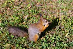 Orav pähkliga (Jaan Keinaste) Tags: fauna estonia pentax eesti k7 orav pähkel pentaxk7