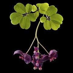 Akebia Quinata - Chocolate Vine (Pixel Fusion) Tags: flower nature flora nikon chocolate vine d600 akebia greatphotographers quinata