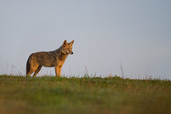 Coyote at dawn (fascinationwildlife) Tags: california coyote wild usa nature animal america point mammal wildlife natur reyes tomales koyote
