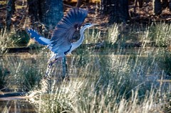 Great Blue Heron (helixsonjr) Tags: bird heron nature northcarolina greatblueheron