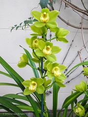 Yellow / Green Orchid (simonevanbergen) Tags: winter flower green yellow garden botanical orchids unitedkingdom greenhouse oxford bloom citycentre 2014 scotchmist