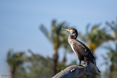 Posado en el tronco (sergio estevez) Tags: azul grande nikon aves cormoran guadiaro 55300mm d3100