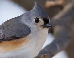 2014_01_18_7D-7 (Photons fail me) Tags: winter snow bird wildlife aullwoodauduboncenterfarm