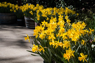 D0184E7 - Daffodils at Ironstone Winery