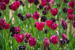 Dark Purple And Red Tulips (aeschylus18917) Tags: flowers flower nature japan spring tulip   tulipa ibaraki 80400mm liliaceae hitachinaka cultivar ibarakiken     hitachinakashi hitachiseasidepark danielruyle aeschylus18917 danruyle druyle   kokueihitachikaihinken