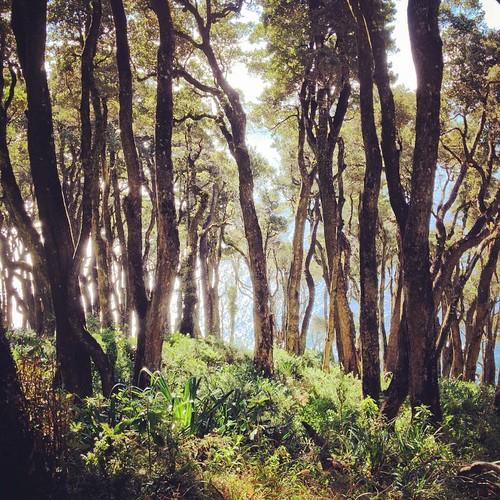 #bosque de #olivillos