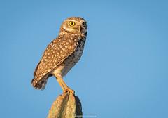 Owl - Currais Novos/RN (eugenio.oliveira) Tags: owl coruja fotografia rn buraqueira cabor serid