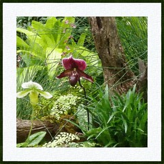 Slipper orchid (Paphiopedilum). (edenseekr) Tags: orchids longwoodgardens watercoloreffect photopainting digitallypainted