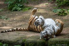 Tiger / Tigre (Doris & Michael S.) Tags: animals tiere tiger tigre  tiergartennrnberg