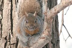 2016 Gray Squirrel 2 (DrLensCap) Tags: park chicago nature animal mammal rodent illinois squirrel village north gray center il kramer erobert