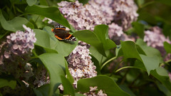 Red Admiral (Lyn Rees) Tags: summer tree wales butterfly garden insect spring wildlife olympus redadmiral lilac lilactree olympus75mm