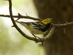 Black-throated Green Warbler, Setophaga virens (David Ascanio (VENT & Ascanio Birding Tours)) Tags: david vent wolf lyon anniversary steve celebration staff barry rafael gregg gorton beaumont jeri galvez langham hilty victoremanuelnaturetours davidascanio abtbirds