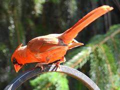 Cardinal (kengi2000) Tags: bird cardinal outdoor