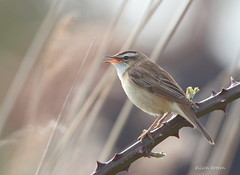 Sedge Warbler (alison brown 35) Tags: wild brown bird ex reed nature canon reeds lens photography bed singing wildlife north norfolk explore 7d trust alison 500mm 35 warbler sima marshes cley sedge warbling