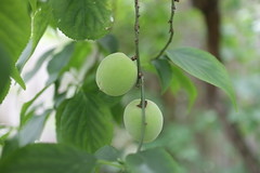 Japanese apricot (sogni_hal) Tags: fruit garden earlysummer japaneseapricot prunusmume