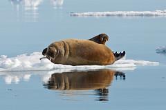 111 Day 6 (brads-photography) Tags: sleeping two seascape reflection seahorse wildlife svalbard arctic iceberg resting walrus spitsbergen icefloe layingdown packice odobenusrosmarus