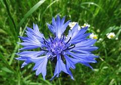 Cornflower (Elisa1880) Tags: flower utrecht cornflower rhenen bloem utrechtse heuvelrug cyanus centaurea korenbloem