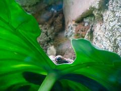 """Santa Elena: mais qui voilà ? Un dinosaure ou le monstre du Loch Ness ? Mais nooon, c'est juste la plus grande grenouille du Costa Rica. <a style=""""margin-left:10px; font-size:0.8em;"""" href=""""http://www.flickr.com/photos/127723101@N04/26902176612/"""" target=""""_blank"""">@flickr</a>"""