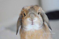 ??? *Ben* (Seattle Roll) Tags: orange rabbit bunny hollandlop