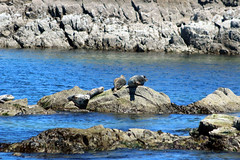 ollicon 470 (ollicrusoe) Tags: rock harbour sausage seal