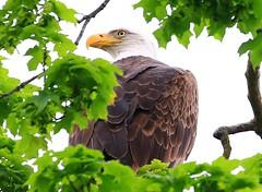 bald eagle at Decorah Fish Hatchery IA 854A7094 (lreis_naturalist) Tags: county fish eagle bald reis iowa larry decorah hatchery winneshiek