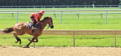 Morning Work at Delaware Park (susanmbarlow) Tags: horse racetrack photograph delaware racehorse thoroughbred gallop equus delawarepark equidae thoroughbredracing