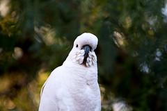 Cockatoo (FeatherFall Photography) Tags: parrot australia sulphur crested sulphurcrestedcockatoo cacatuagalerita