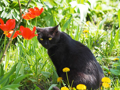 Kocio (arjuna_zbycho) Tags: pet cats pets flower cute animal animals cat blackcat kitten feline chat felix kitty kittens tuxedo gato tulip tuxedocat blume gatto katzen haustier kater tier tulipa tulpen tulipano tulipes kwiat tulipan tulipn lale gattini hauskatze kocio tulppaanit   laleaua