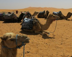 Wednesday Colours - Sciatica (Pushapoze - sciatica) Tags: sahara sand sable dromedary morocco maroc berbere dromadaire hotsun soleildeplomb