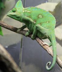 Chameleon (iansand) Tags: zoo chameleon tarongazoo