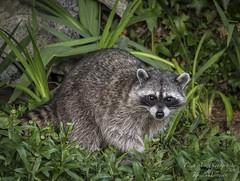 Raccoon - Sidney, BC (Freshairphotography) Tags: garden vancouverisland wildanimal raccoon sidney maskedbandit sidneybc explorebc explorevancouverisland