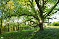 The Swing (J McSporran) Tags: bluebells forest landscape scotland swing trossachs treeswing canon6d