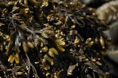 bladderwrack (werewegian) Tags: brown seaweed bokeh scottish seashore slimy bladderwrack jun16 werewegian