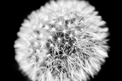 paardebloem (robvanderwaal) Tags: blackandwhite bw macro nature netherlands monochrome mono blackwhite zwartwit nederland natuur dandelion zw blowball 2016 paardenbloem uitgebloeid rvdwaal robvanderwaalphotographycom