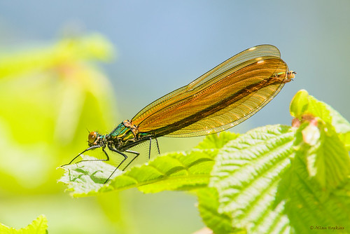 Beautiful Demoiselle (Calopteryx virgo), female